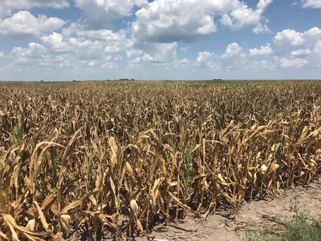 Much of the western U.S. is also experiencing drought. But Missouri is the only Midwestern state with such severe conditions with suffering corn crops and hay in short supply for cattle.