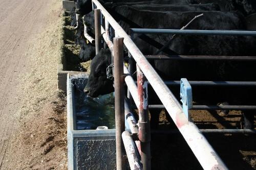 feedlot_cattle.jpg