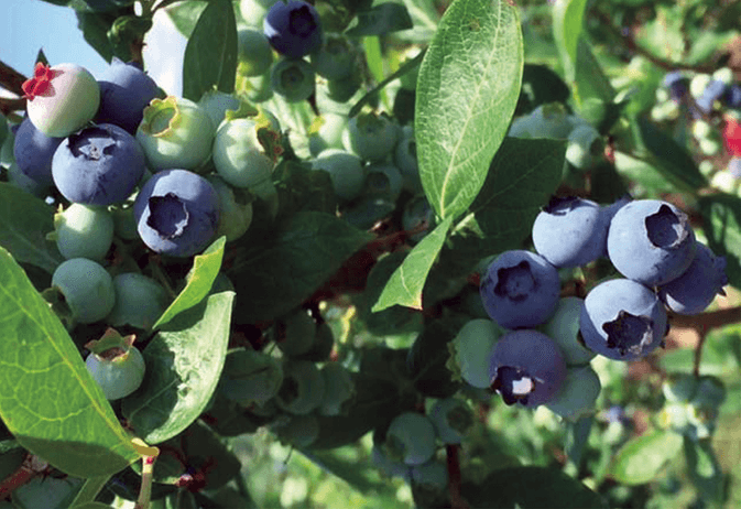 blueberries-on-bush