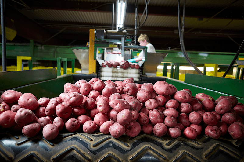 Red-Potatoes-Conveyor-RPE
