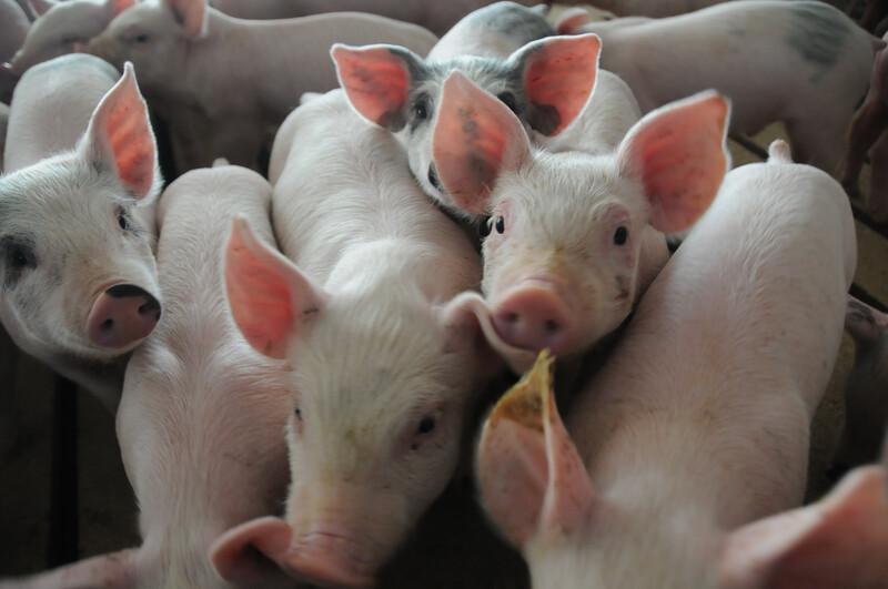 Piglets_pigs_baby swine (10)