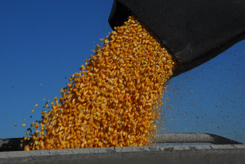 Corn flowing out of auger 21