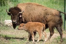 Bison-USDA