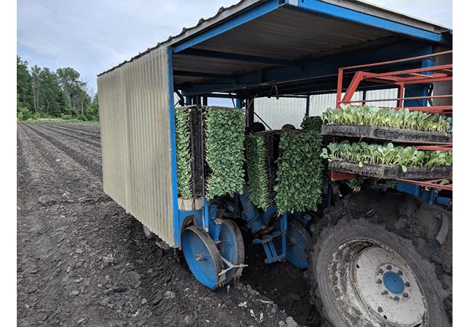 E. Miedema planting cabbage