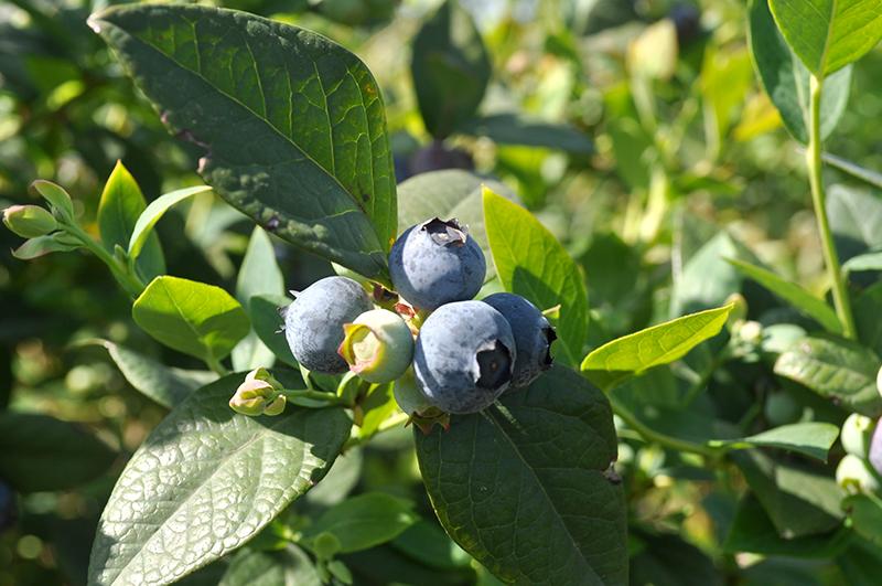 Argentina-blueberries