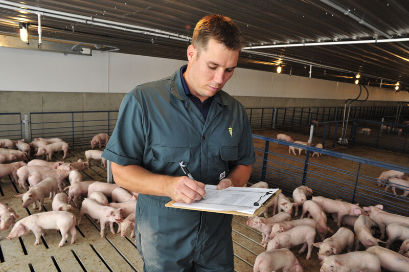Veterinarian Checking on Young Pigs
