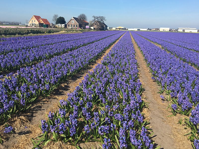 Netherlands Flower Farm