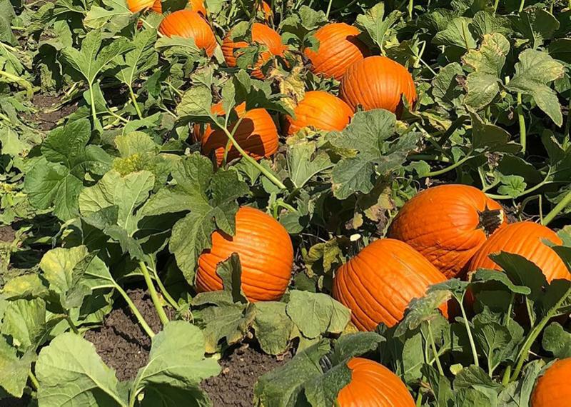 Van-Groningen-pumpkins-Aug-22-18
