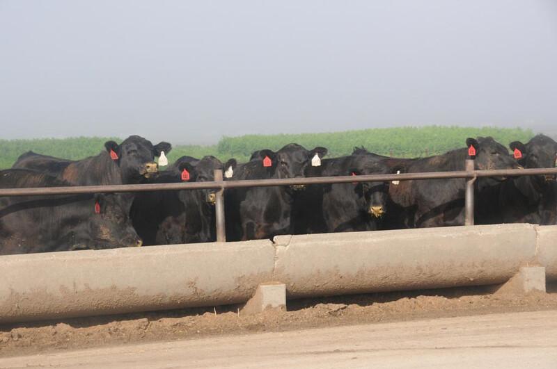 CAB Angus feeder feeding cattle Tiffany Kansas