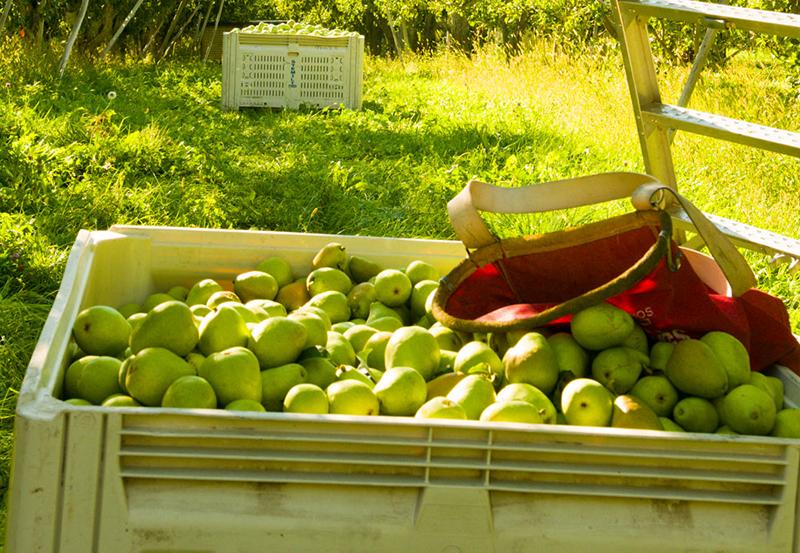 Stemilt-pears-harvest-bin