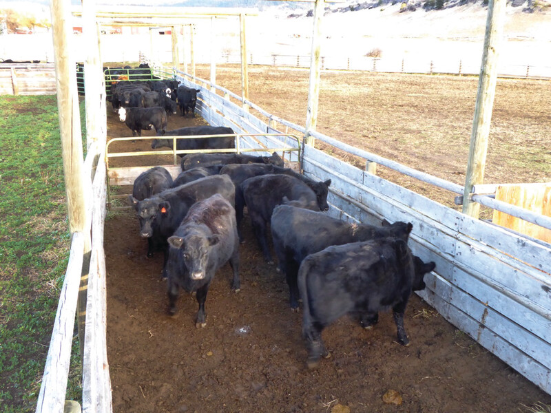 Hibbard_ moving cattle down alley _1.jpg