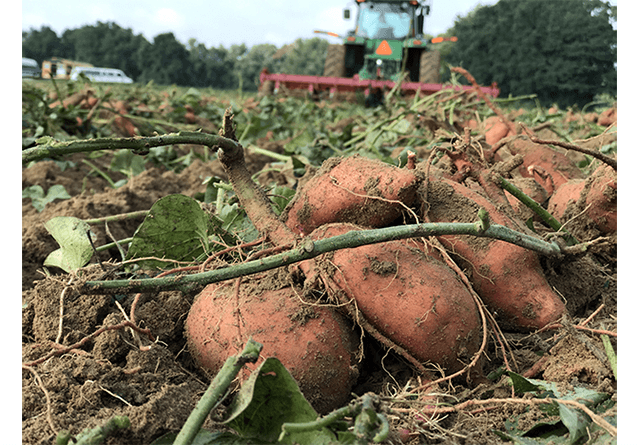 Sweet Potato Harvesting 2