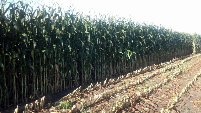 NDSU Corn Silage Chopping