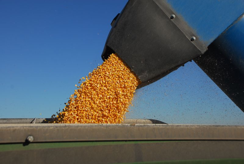 Corn flowing out of auger 17