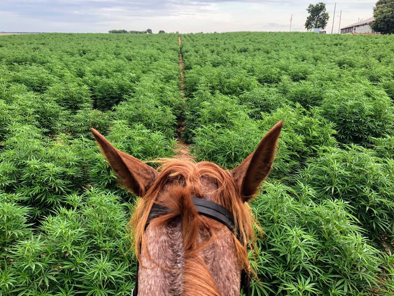Cannabis_field_horse