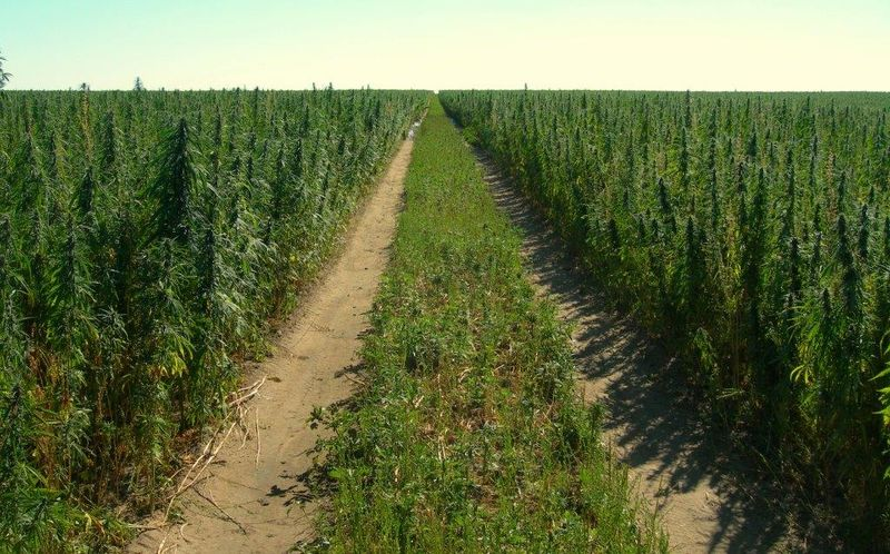 """Declaring he has """"won the argument"""" on hemp, Senate Majority Leader Mitch McConnell said Tuesday that the Senate is on track for a vote to legalize the crop that comes from the same plant that produces marijuana."""