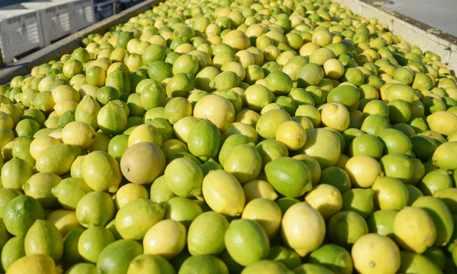 U.S. importers and Argentina officials say a reported fruit fly larvae find in an Argentina lemon packinghouse isn't expected to derail just-arriving U.S. imports of lemons this summer.