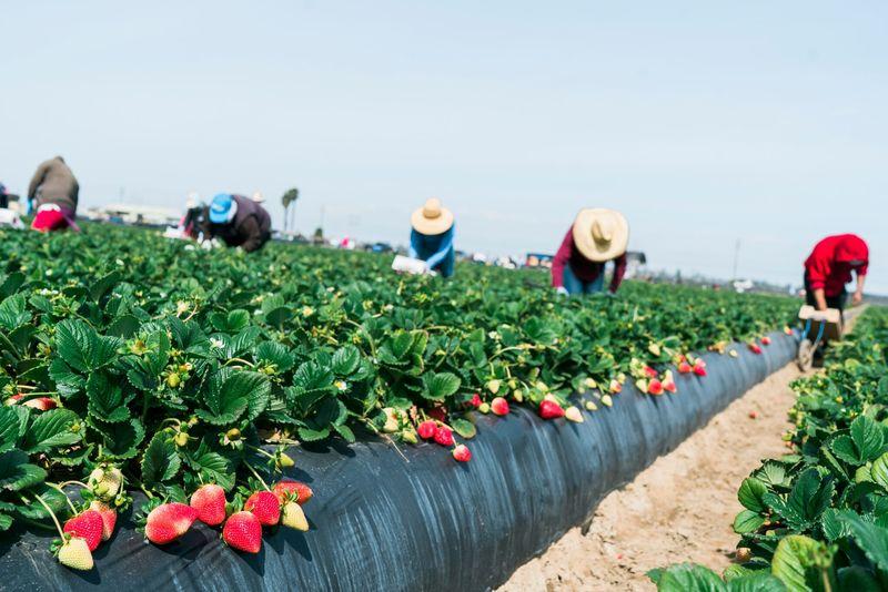 Success Valley_organic-strawberries