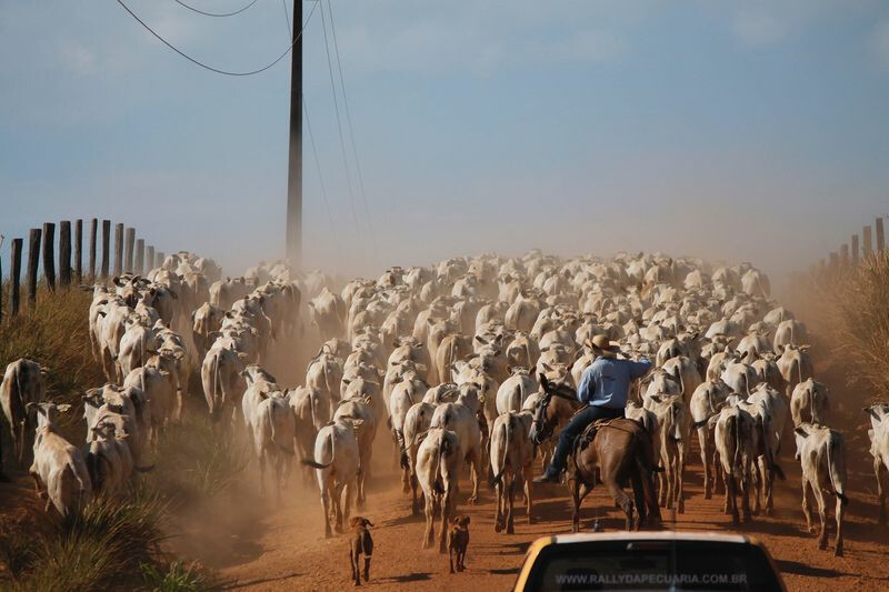 Bloomberg Brazil Cowboy Moving Cattle