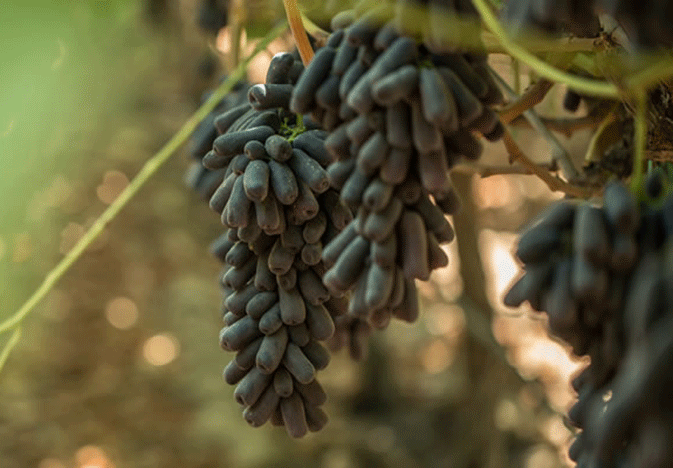 """The company that brought Cotton Candy grapes to the market has six new Price Look-Up numbers for 24 varieties of table grapes, including 10 considered as """"novelty"""" varieties like the Cotton Candy."""