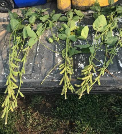 soybean pods crop tour