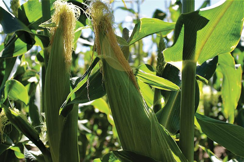 Sweet-corn-closeup