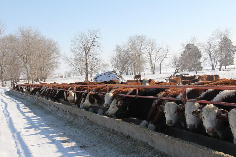 NDSU Hereford Cows Snow Feed Bunk