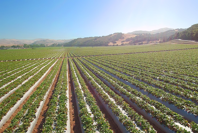 It's still relatively early in the season, but California strawberry volume seemed headed for its third record strawberry crop in a row as of early June.