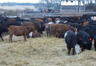 Worms In Cattle Pictures