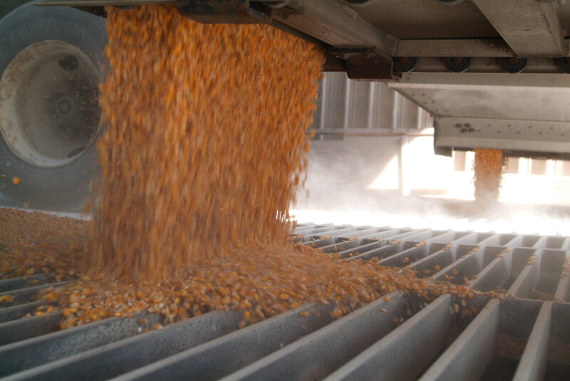 Corn Grain 4