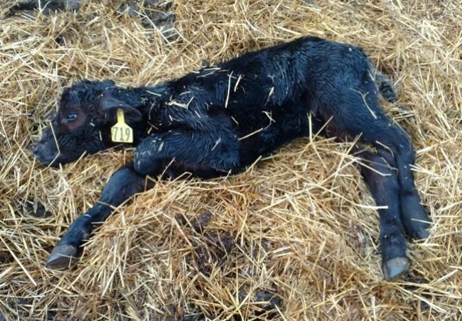Calf Scours