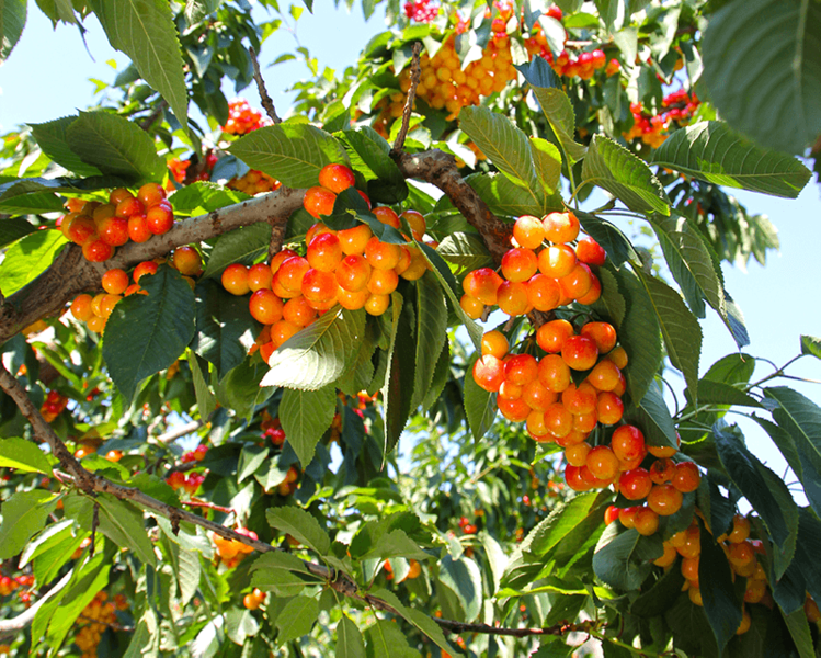Chelan_rainier-cherries-on-tree