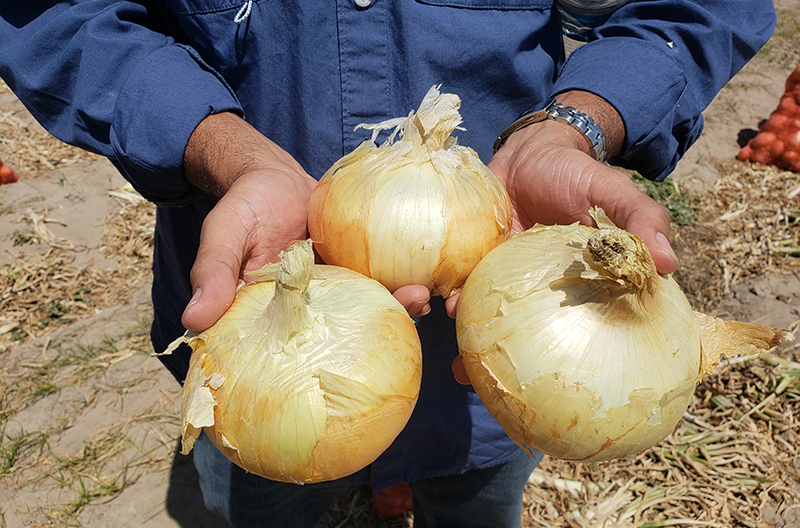 Peru-sweet-onions-20180905