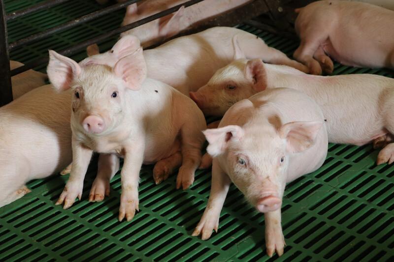 Pigs on Leon Sheets Farm