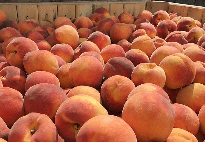 New-Jersey-peaches_WEB