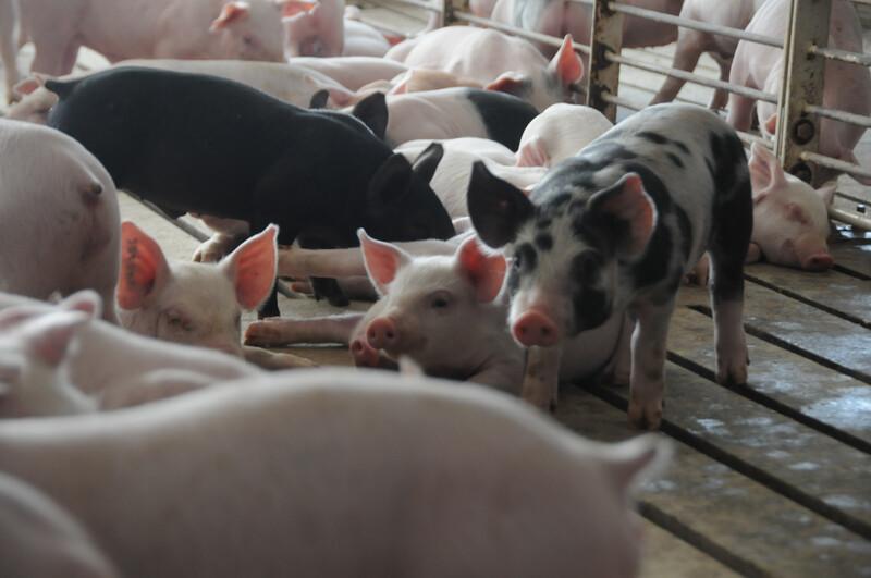 Piglets_pigs_baby swine (63)