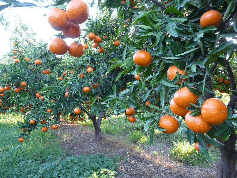 Mandarin-trees-Chile-Wonderful-Citrus