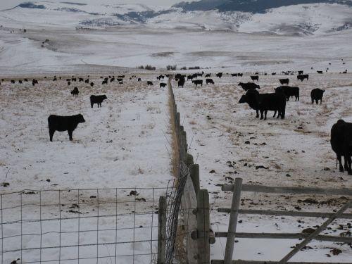 Fenceline calves (500x375)