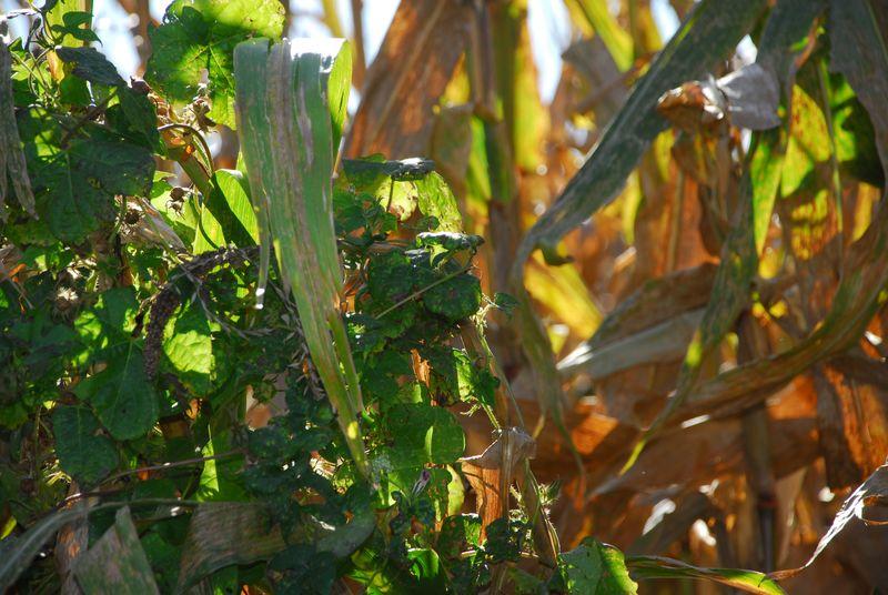 Vines in mature corn 11