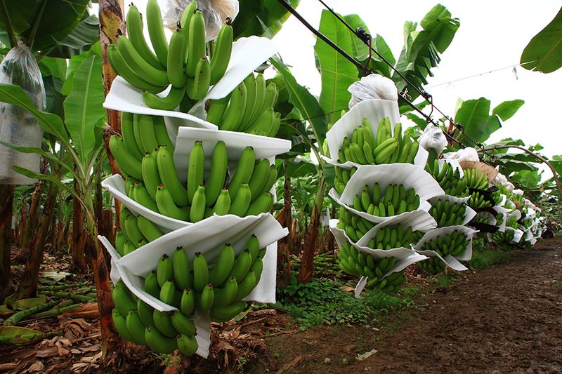 Banana volumes have been light in recent months thanks to inclement weather and other adverse conditions in numerous producing countries.