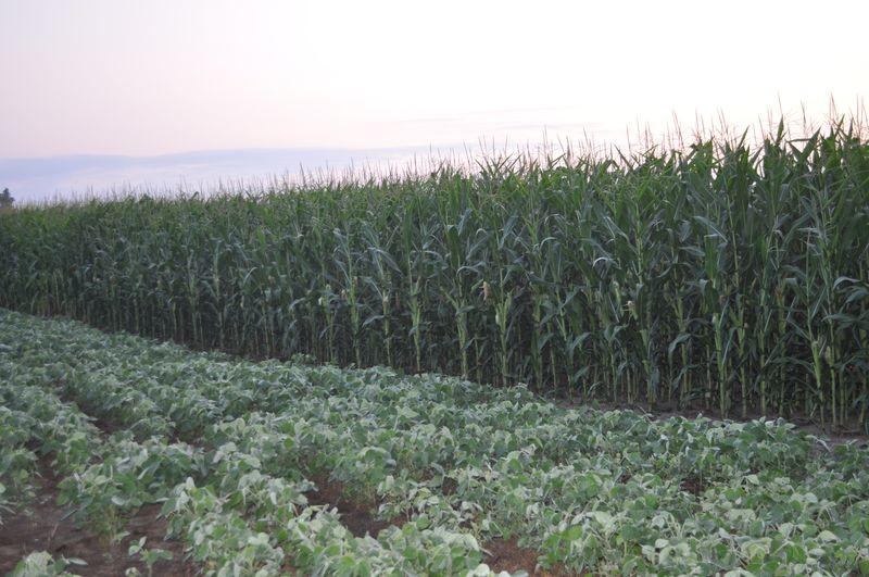 Corn 09