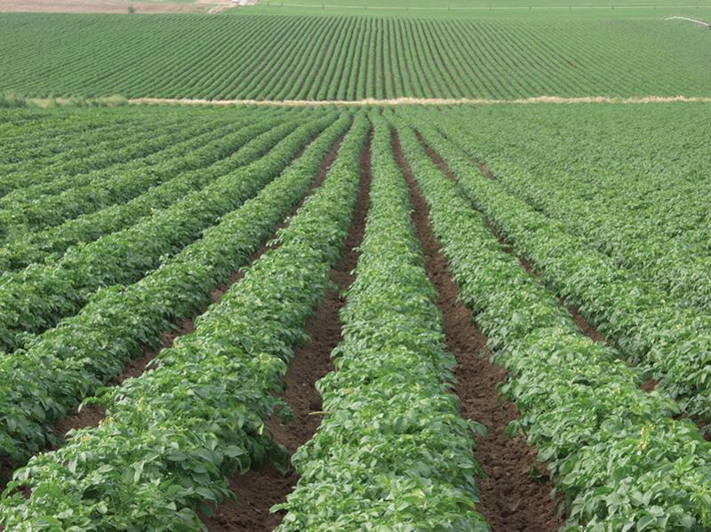 Oregon-potato-field-commision