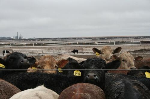 Feedyard calves (500x333)