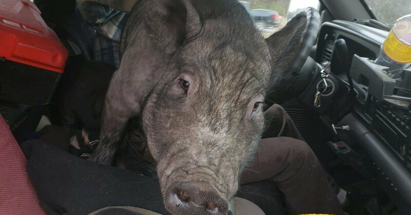 Lap Pig