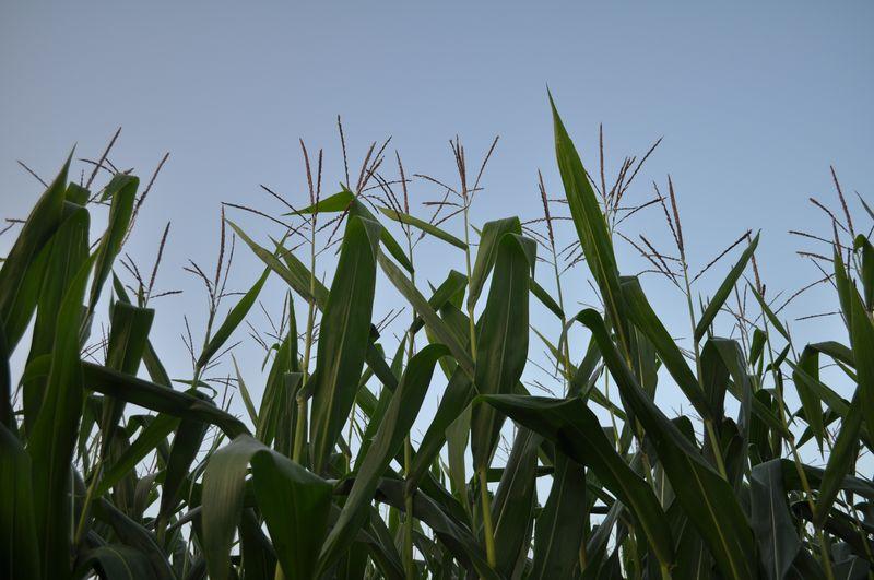 Corn 03