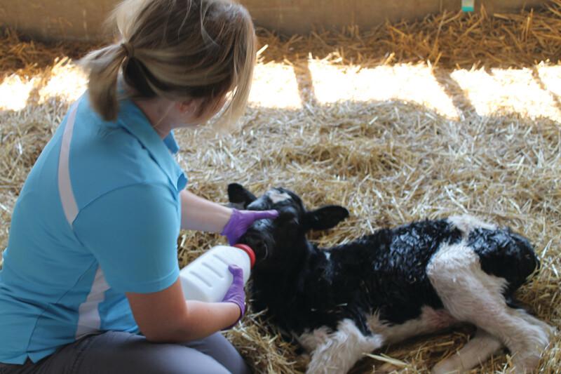 Megan Hickey Prairieland Dairy ColostrumCalf