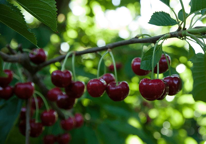 Domex-cherries-on-tree