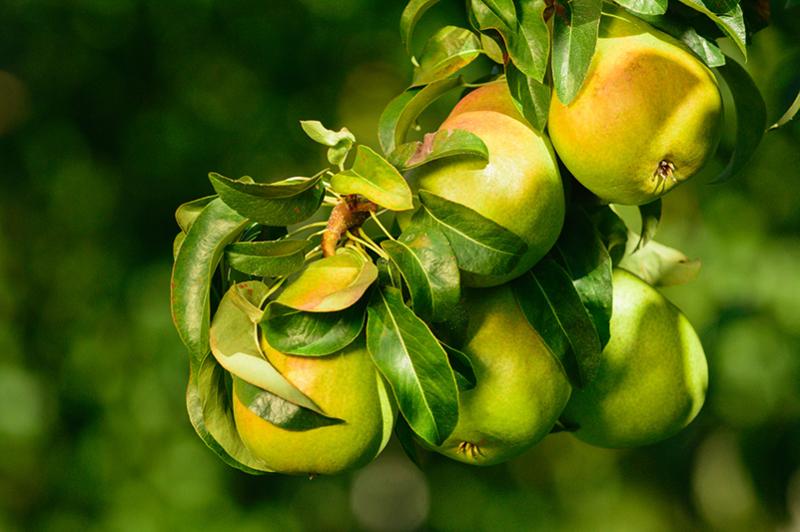 Pears-on-tree-Stemilt