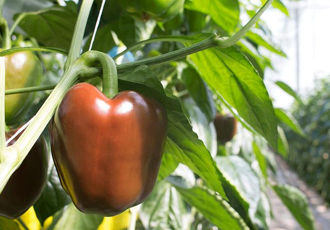 Chocolate-Pepper-Crop-Zing_WEB