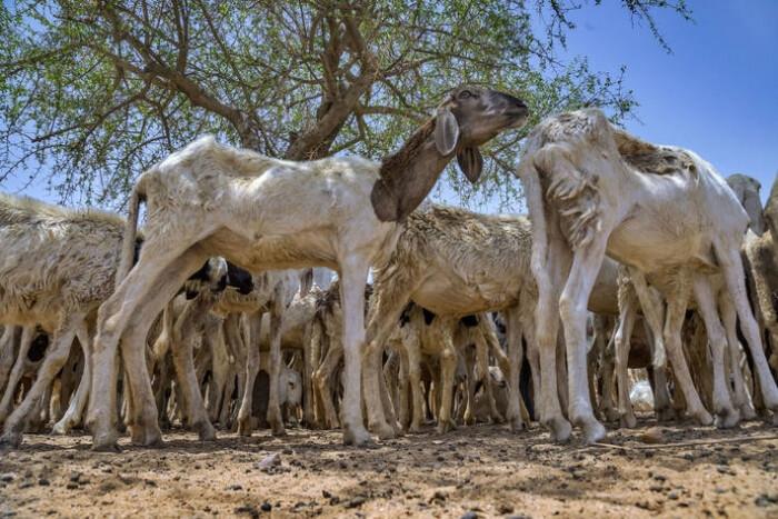 Goats-UN-FAO-2